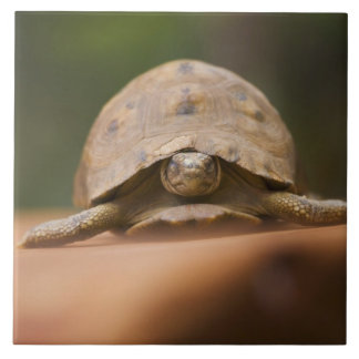 Star tortoise, Perinet Reserve, Madagascar Tile
