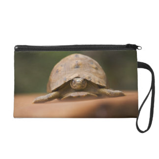 Star tortoise, Perinet Reserve, Madagascar Wristlet