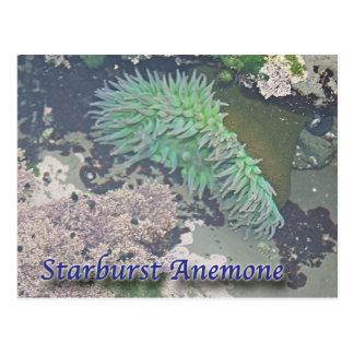 Starburst Sea Anemone Post Card