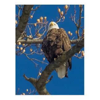 Staredown de Eagle calvo Postal