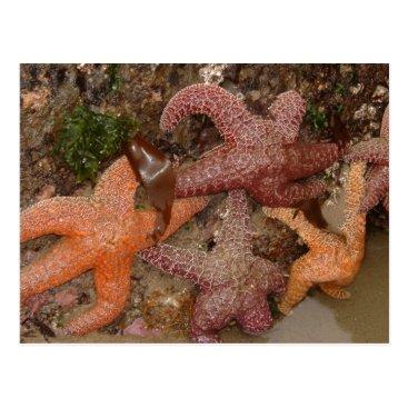Beach Themed Starfish/Sea Stars in Cannon Beach, OR, Photo 4 Postcard