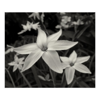 Starflower Black and White Print