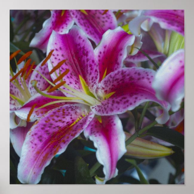 Stargazer Lilies Pink & Magenta Poster