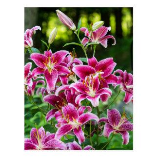 Stargazer Lilies Postcard