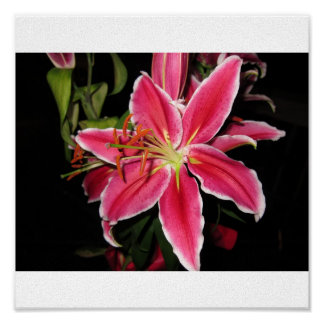 Stargazer Lilly Posters