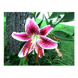 Stargazer Lily Postcard