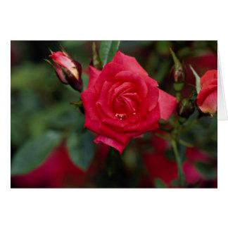 Starina hermoso 'Meigabi color de rosa miniatura Tarjeta De Felicitación