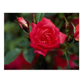 Starina hermoso 'Meigabi color de rosa miniatura Tarjetas Postales