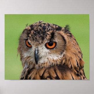 Staring Brown Owl Poster