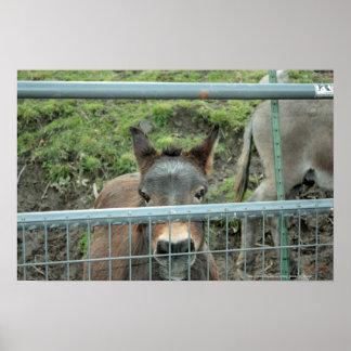 Staring Donkey Photograph Print