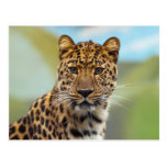 Staring Leopard Post Card