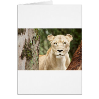 Staring Lioness Card