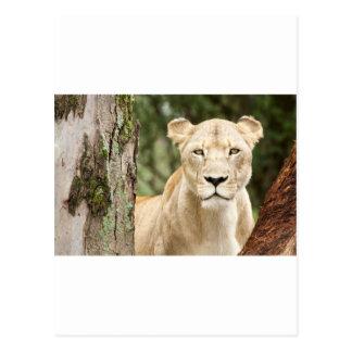Staring Lioness Postcard