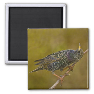 Starling 2 Inch Square Magnet