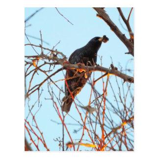 starling at sundown postcard