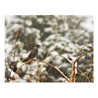 Starling bird in the Snow Postcard
