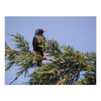Starling in a Spruce Tree Print