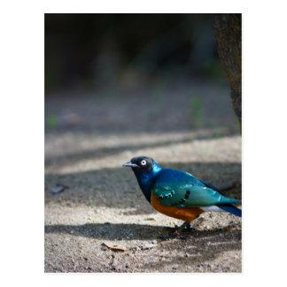 Starling magnífico tarjetas postales
