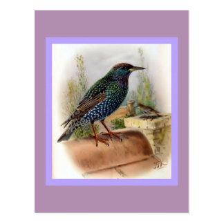 Starling Vintage Bird Illustration Postcard