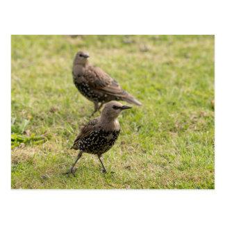 Starlings jovenes postales