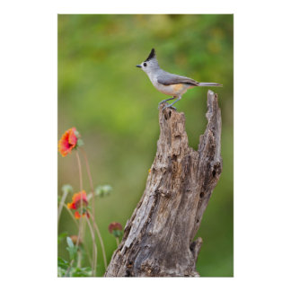 Starr County, Texas. Black-crested Titmouse Poster