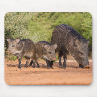 Starr County, Texas. Collared Peccary 1 Mouse Pad
