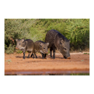 Starr County, Texas. Collared Peccary 1 Poster