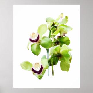 STARTING UNDER $20 - Green Cymbidium Orchids Poster
