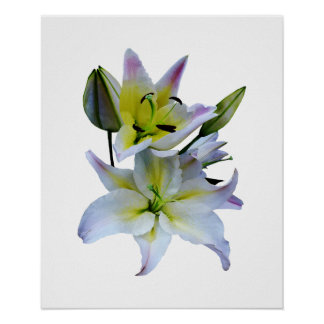 STARTING UNDER $20 - Lovely White Lilies Poster