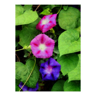 STARTING UNDER $20 - Pink and Purple Morning Glori Poster