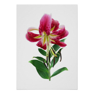 STARTING UNDER $20 - Stargazer Lily Looking Down Poster