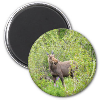 Startled Young Moose 2 Inch Round Magnet