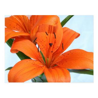 Startling Orange Tiger Lily Postcard