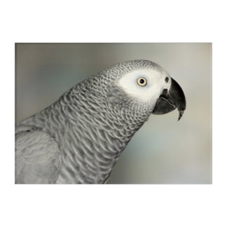 Stately African Grey Parrot Acrylic Print