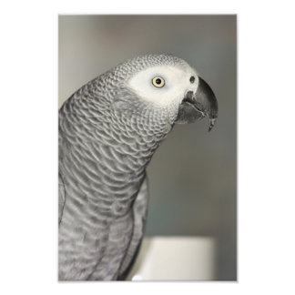 Stately African Grey Parrot Photo Print