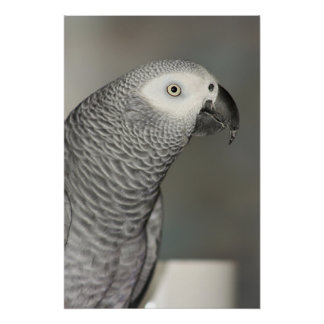 Stately African Grey Parrot Poster