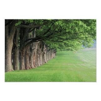Stately row of trees, Louisville, Kentucky. Photo