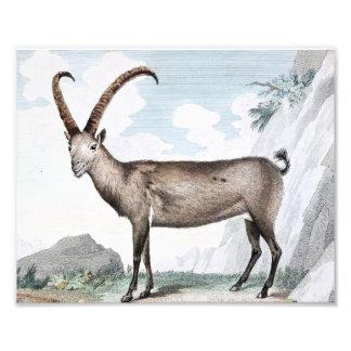 Steinbock (Ibex) Illustration Photographic Print