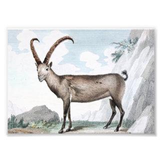 Steinbock (Ibex) Illustration Art Photo