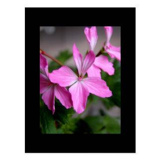 Stellar geranium 'Graffiti pink' Postcard