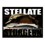 Stellate Sturgeon Postcard