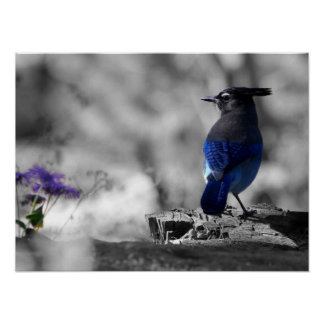 Steller Jay Posters