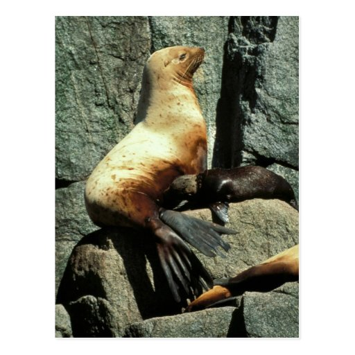 Steller Sea Lion and Pup Postcard