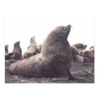 Steller Sea Lion Post Card