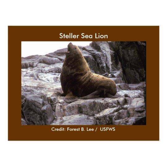 Steller Sea Lion Postcard