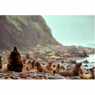 Steller Sea Lions at Haulout Cut Out