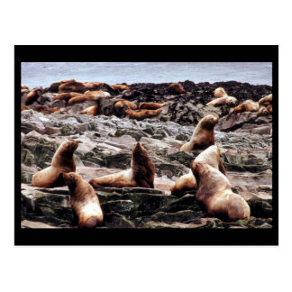 Steller Sea Lions at Haulout Postcard