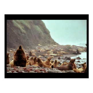 Steller Sea Lions at Haulout Post Card