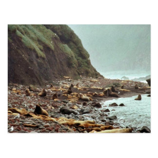 Steller Sea Lions at Haulout Postcards