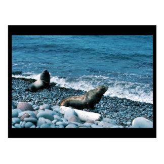 Steller Sea Lions Postcards